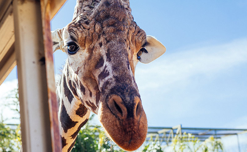 A giraffe looks straight into the camera at the San Diego Zoo
