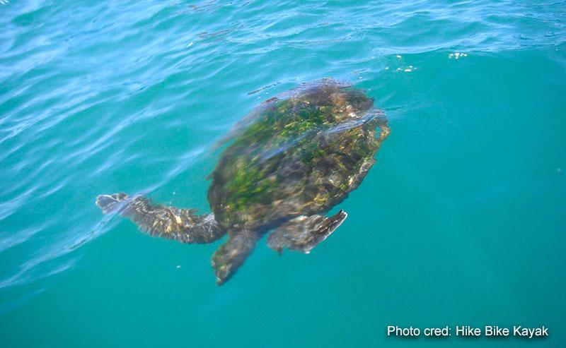 A sea turtle swimming in the blue ocean off La Jolla Shores