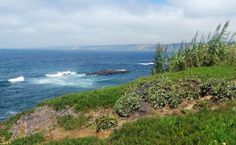 Grass and Flowers blowing in the wind along the coast off La Jolla Shores