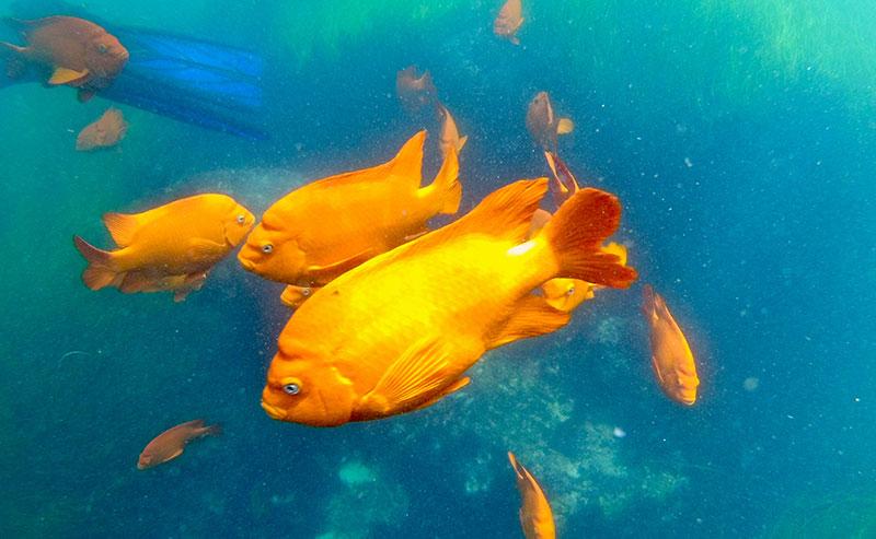 The bright orange Garibaldi swim in the Ocean right off La Jolla Shores