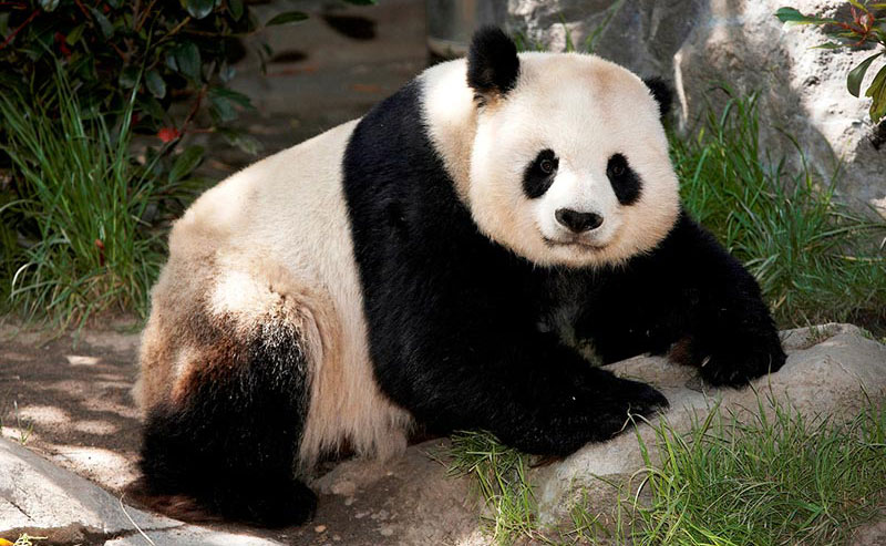 A panda resting at the San Diego Zoo